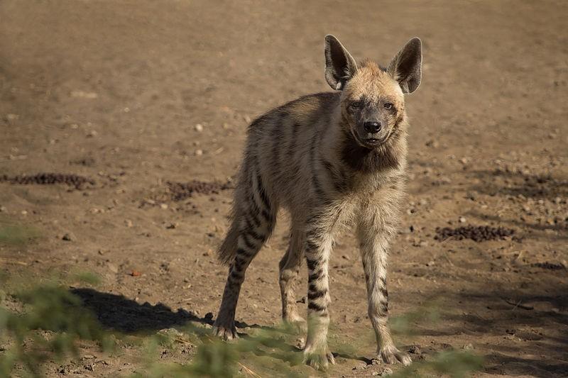 Image of: Prey Hyena Meat Is Considered Delicacy In Saudi Arabia reuters Ibtimes Uk Hyena Burger Saudi Taste For Wild Meat Threatens Species Extinction