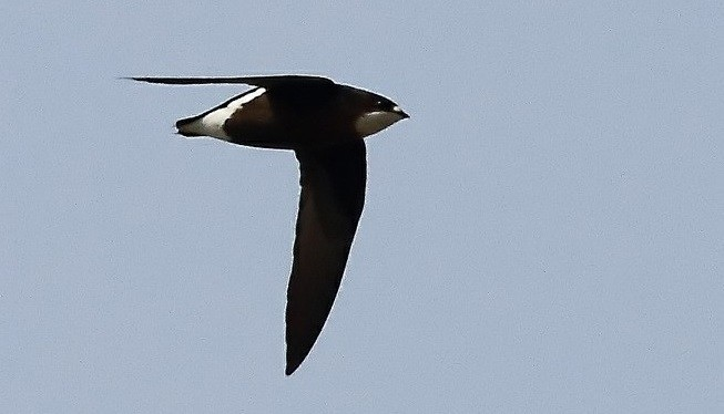 Needletail in flight