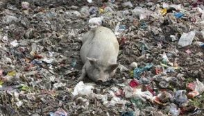 A pig is seen in a garbage dump close to a slum in New Delhi December 15, 2009.