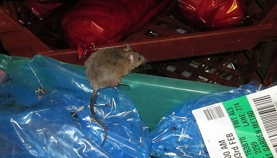 Fearless rodent pumped up on protein snapped by Westminster Council