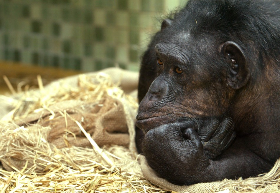 Chimpanzees have experiment with sex more than humans