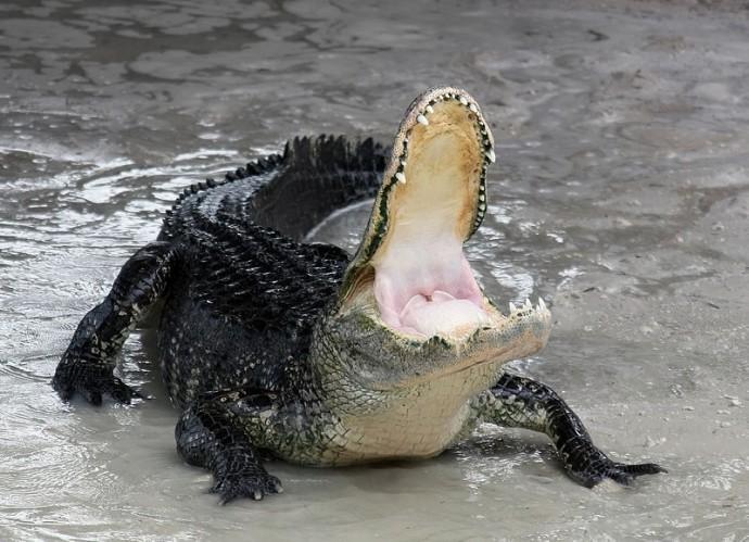 alligator Texas attack