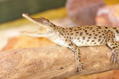 George the Royal Crocodile