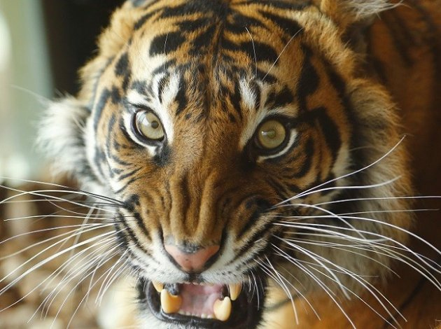 Under attack: Customers in the Far East crave tiger products