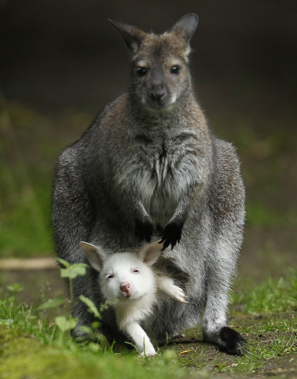 Marsupials are pouched mammals like kangaroos and wallabies. Scientists in Australia have discovered a fossil field packed with several unknown marsupials. (Photo: Reuters)