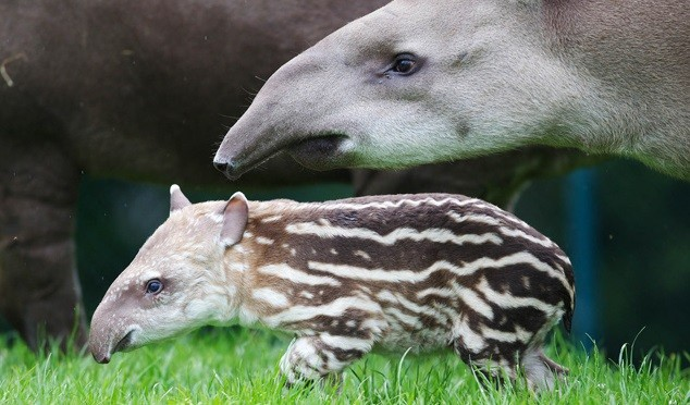 It is believed the two-month old tapir calf attacked the girl (Dublin Zoo)