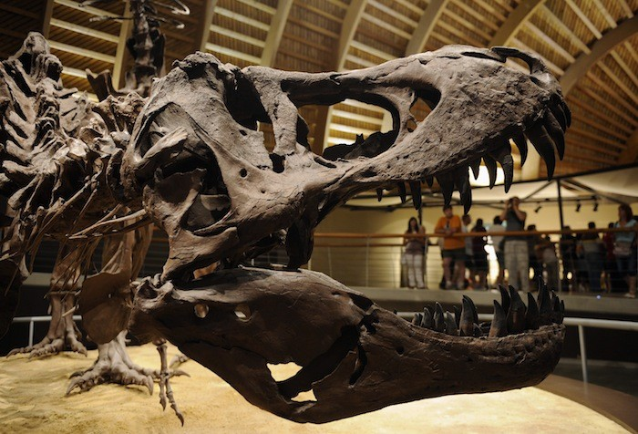 Fighting T Rex And Triceratops Fossils Could Fetch 163 6 4m