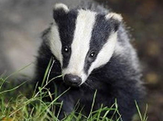 Did badgers cause historic TB species jump in Berkshire?