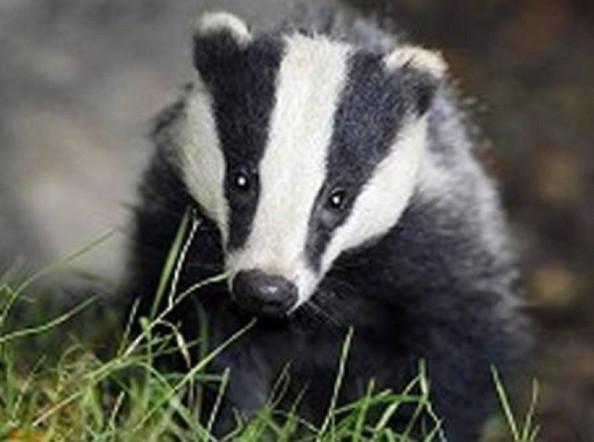 Badger unearths valuable find in Brandenburg, Germany