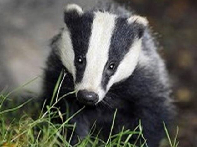 Badger unearths valuable find in Brandenburg, Germany