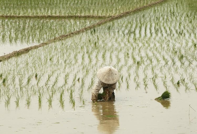 rice farmer global price