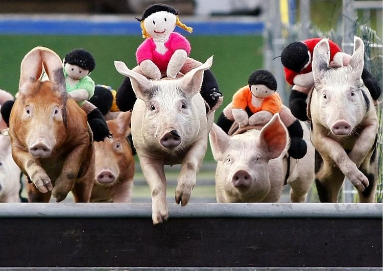 Pigs: 9.7%