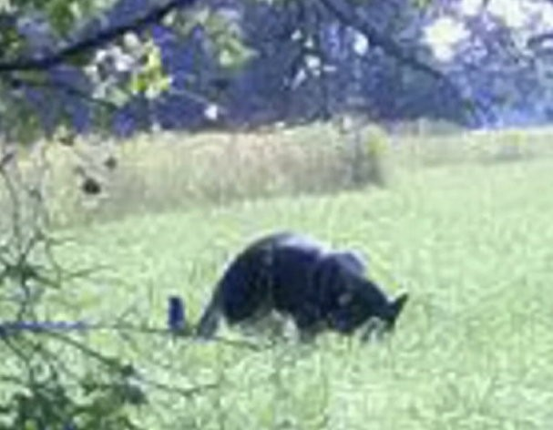 A large, panther-like cat was caught on camera as it ate prey in Murhill Woods, Wiltshire. (Herbert Smith)