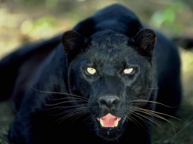 The Beast of Trowbridge could be an escaped panther. (www.bigcat.com)