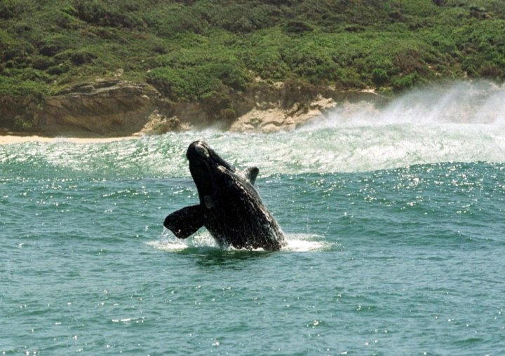 southern right whale hermanus