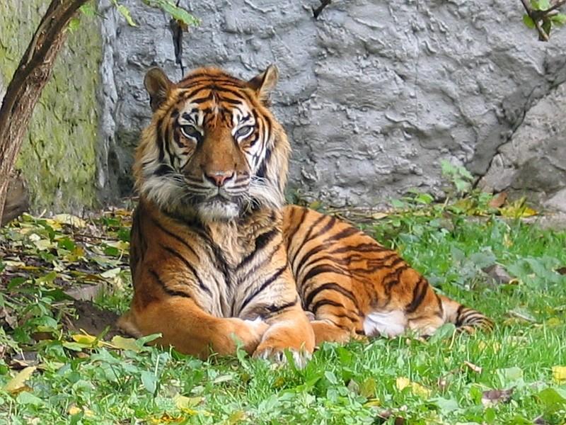 Sumatran Tiger killed by villagers thinking its a shapeshifter