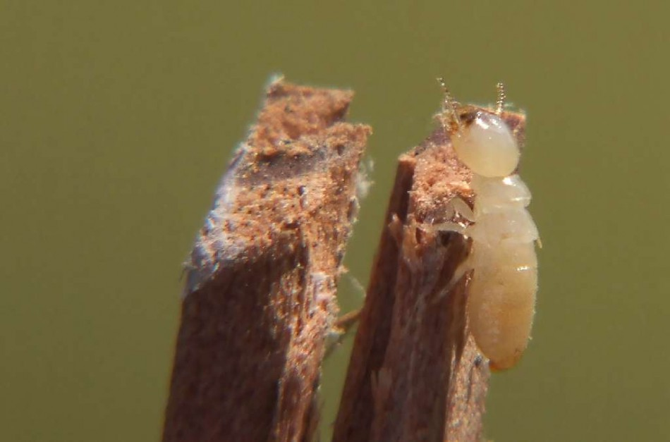 Termites cause structural damage
