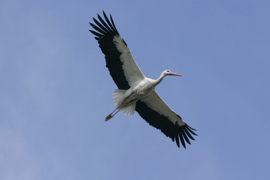 Stork held for spying in Egypt after landing in Nile River PIC: Reuters