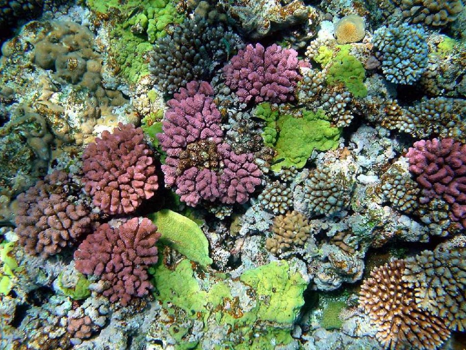 The color of corals depends on the combination of brown shades provided by their zooxanthellae and pigmented proteins (reds, blues, greens, etc.) produced by the corals themselves.