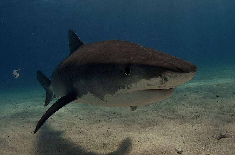 Hawaii Shark Attacks: October Spike Feared as Tiger Sharks ...  Hawaii Shark At...