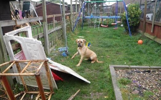 Bonnie the Dogue de Bordeaux at scene of attack PIC: RSPCA