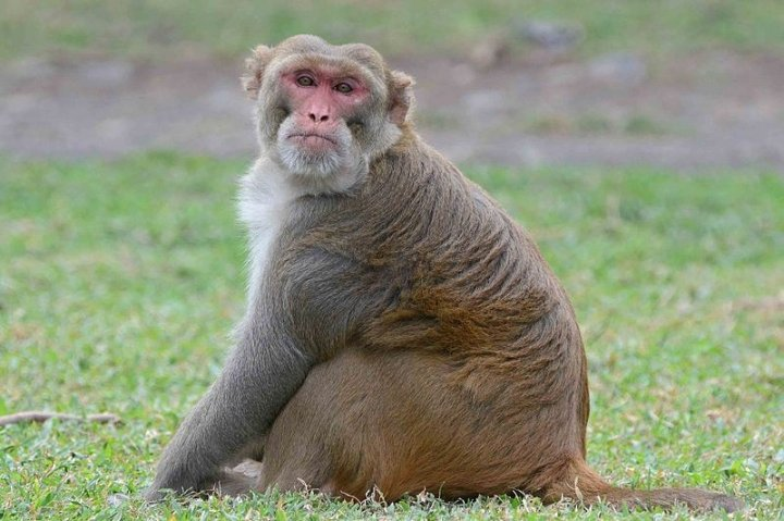 rhesus macaques