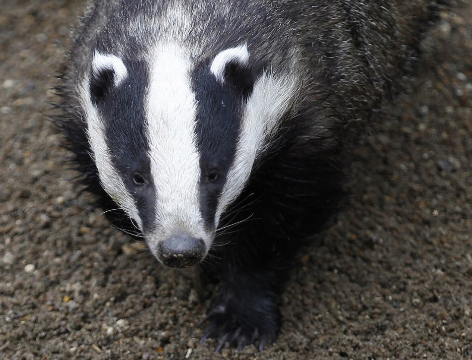 RSPCA's campaigning on issues such as the badger cull could undermine key support.