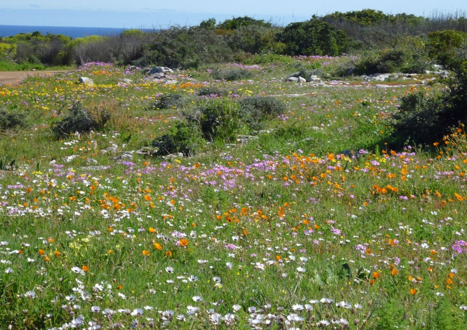 Cape's full floral glory