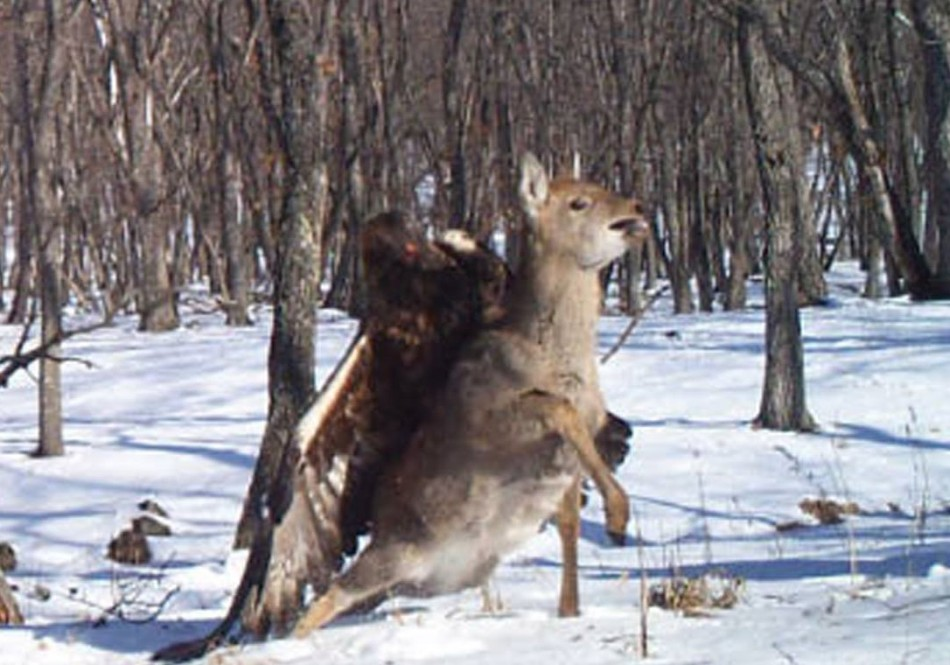 Eagle vs Deer
