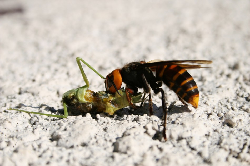 Killer hornets: 8-year-old dies after being stung by a swarm of hornets