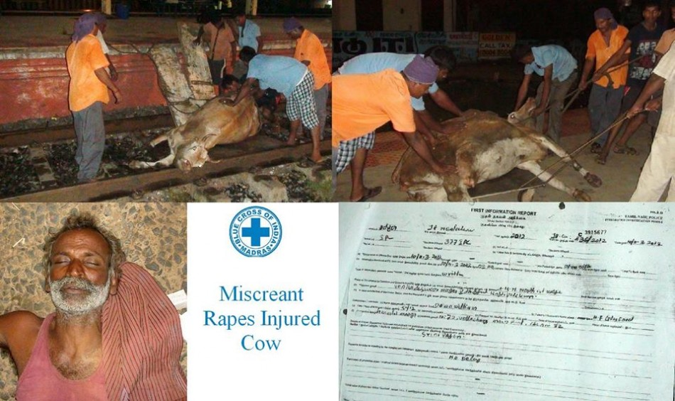 Indian man rapes an injured cow