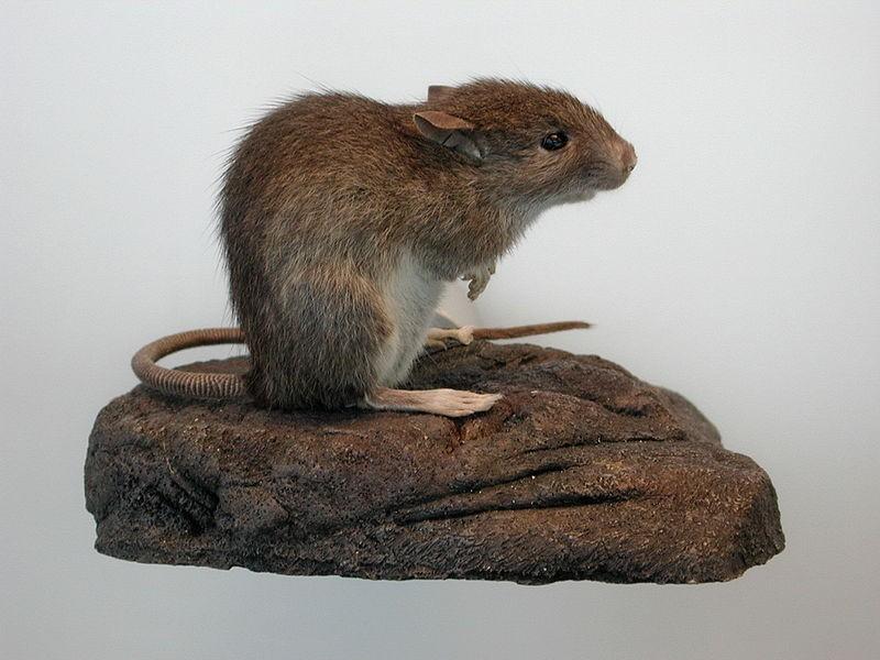 Polynesian rats