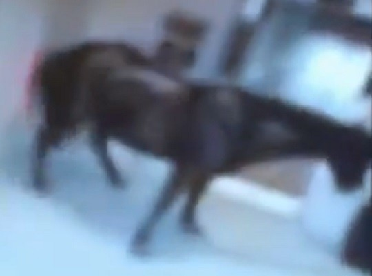 Horse inside Best Western Hotel in Birmingham PIC: Youtube