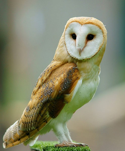 Owls: Night Vision, Directional Hearing