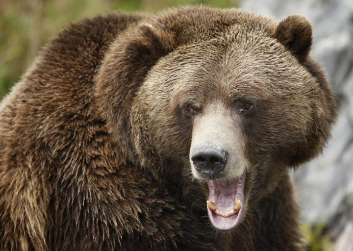 Bear attack Siberia