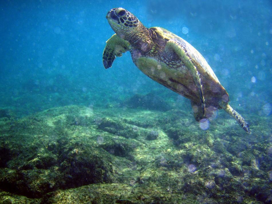 Green turtle. (Wikimedia)