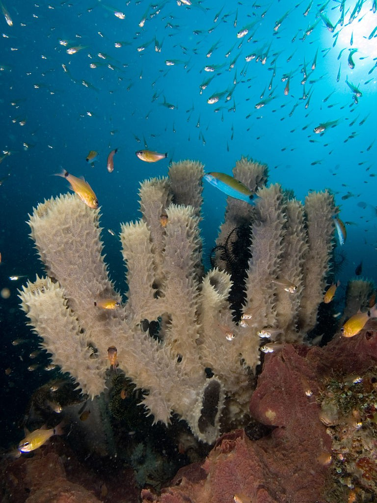 Coral reefs provide marine habitats for tube sponges, which in turn become marine habitats for fish (Wikimedia)