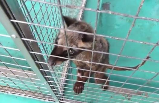 Civets