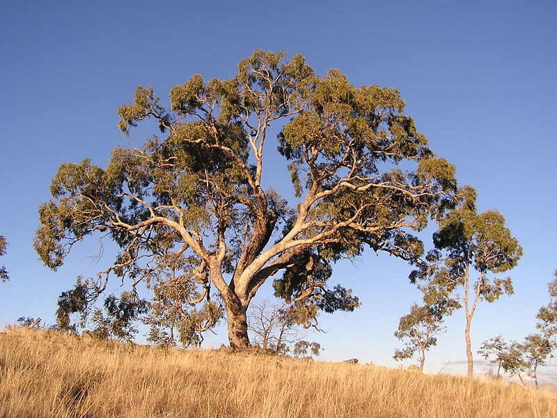 Gold deposits have been found in Eucalyptus trees in Australia