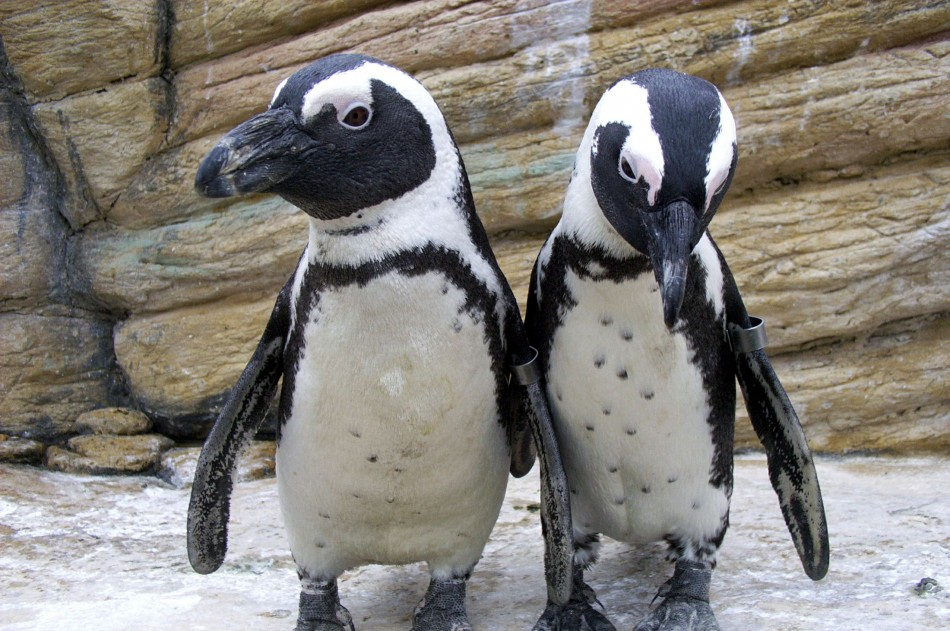 Some African Jackass penguins