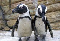 Some African Jackass penguins
