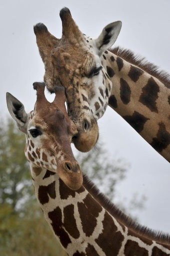 Facebook users are replacing their profile pictures with giraffe