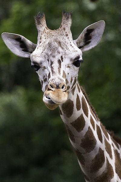 Is the Facebook giraffe riddle a hoax?