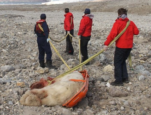 The body of the bear that killed horatio Alger is dragged away.