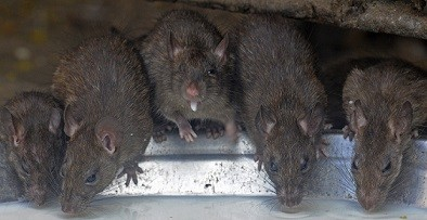 There are an estimated 10.5 million rats in the UK (Reuters)