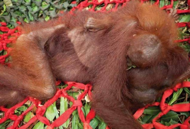 A baby Orangutan clings to its starving mother in deforested ares in Indonesia PIC: Alejo Sabugo/IARI