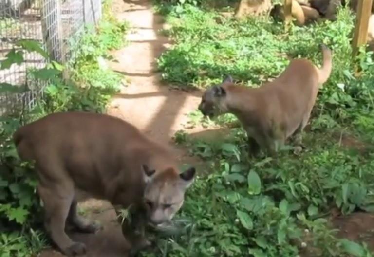 Big cats at Wildcat Haven Sanctuary