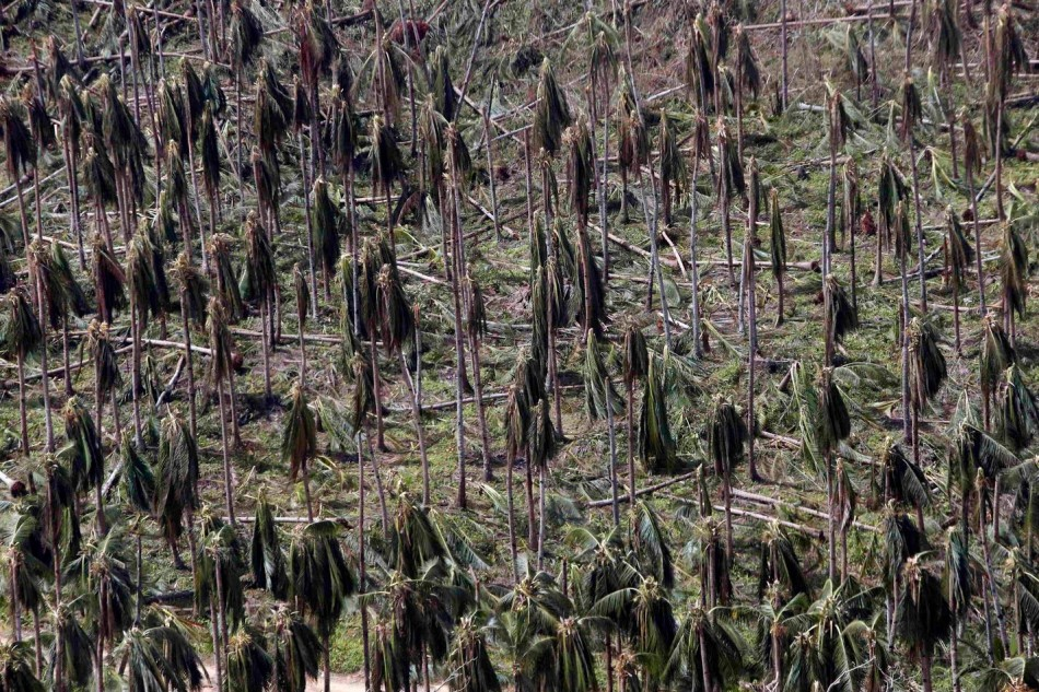 A coconut plantation goes sans fruits following Haiyan. (Photo: REUTERS/Erik De Castro)