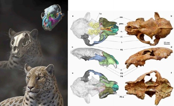 Panthera Blytheae Oldest Fossil Of Big Cat Species