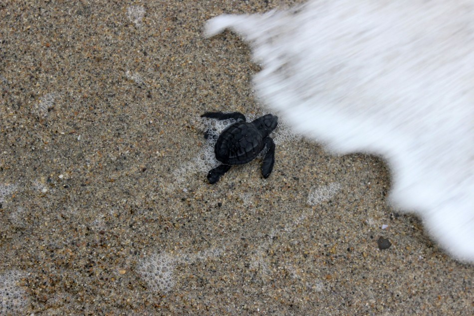 An Olive Ridley turtle hatchling reaches the ocean after being released in Tomatlan, Mexico. (Photo: REUTERS/Alejandro Acosta)